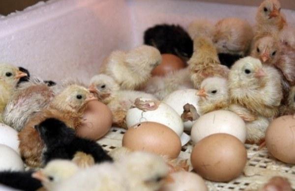 tavuk yumurtadan yumurtadan