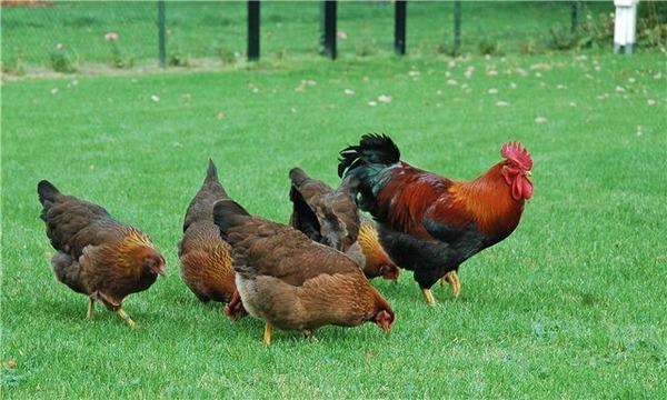 Koşularda tavuklar
