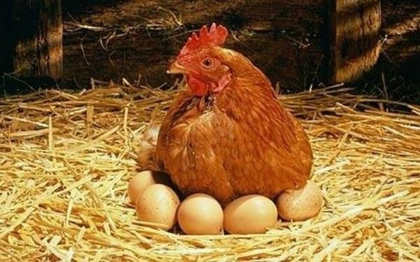Yemleme tavukları besleme