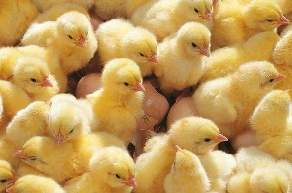 İnkübatör Chicks