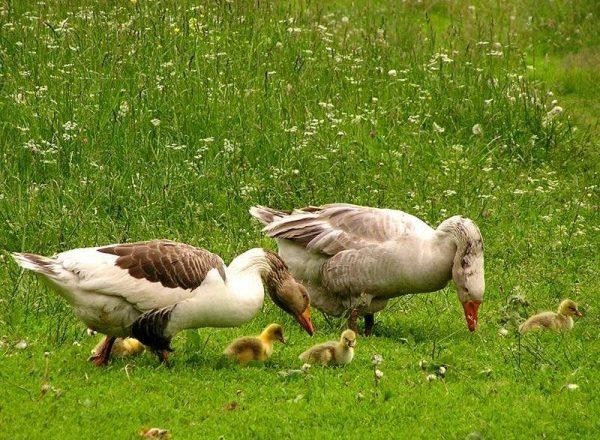 Besleme goslings