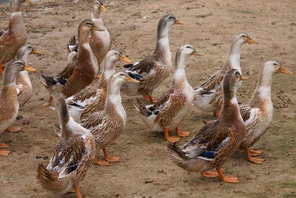 Başkurt ördek ırkı