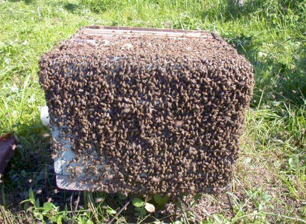 Kaynıyor arılar