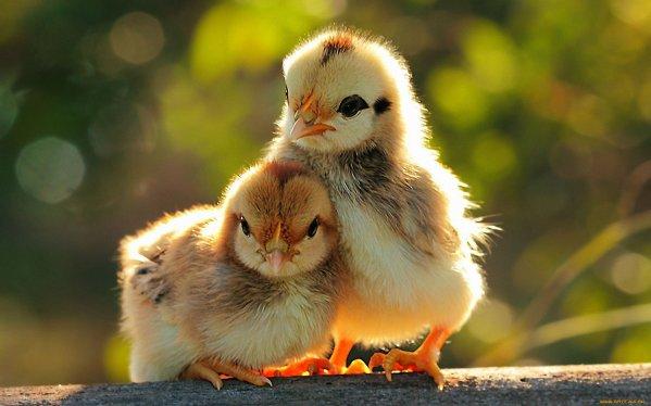 evde tavuk yetiştirme