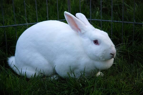 Valier içinde beyaz tavşan