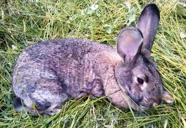 Tavşanlarda Coccidiosis