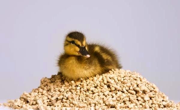 Ördek yavrusu nasıl beslenir
