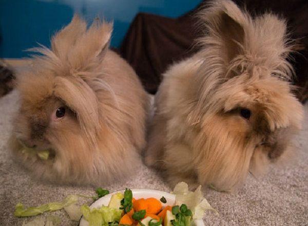 Bir tavşan beslemek ne