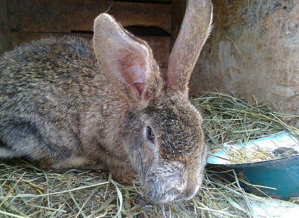 Tavşanlarda miksomatosis