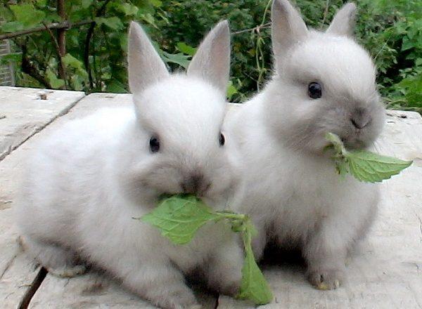 Tavşanlar ne yenir?