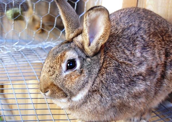 Tavşanlarda ishal