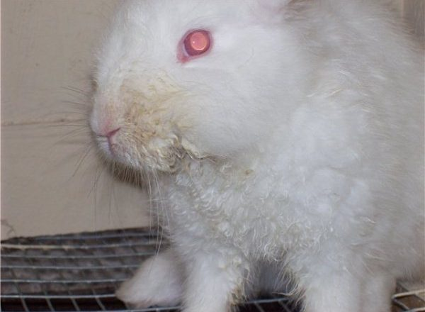 Tavşanlarda bulaşıcı stomatit