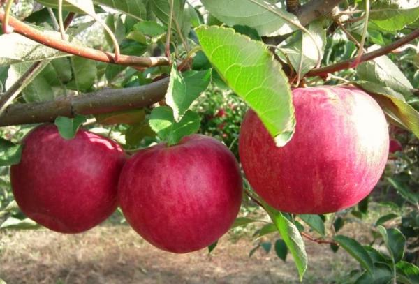 Elma ağacı çeşitleri Kazananlar için zafer: Tanımlayıcı özellikler