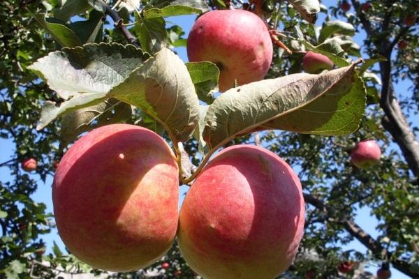 Zhigulevskoe elma çeşitleri: tanımlayıcı özellikler, seçim geçmişi