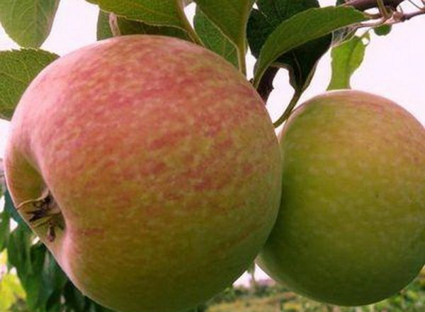 Elma ağaçlarının çeşitliliği: Tanımlayıcı özellikler, dikim ve bakım kuralları