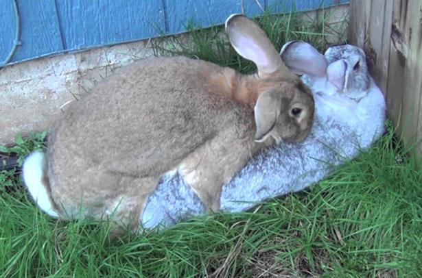 Tavşan durumda