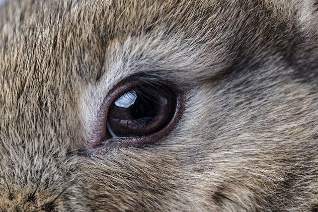 Tavşan göz hastalıkları