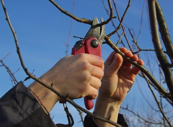 Şema ve ilkbahar, sonbahar, kış ve yaz aylarında armut ağacının kırpılması