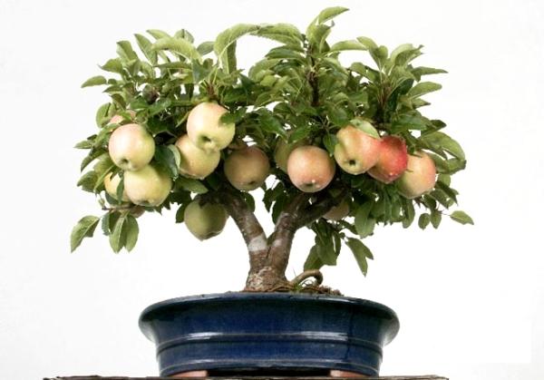 Evde tohumdan bir elma ağacı nasıl yetiştirilir: talimatlar