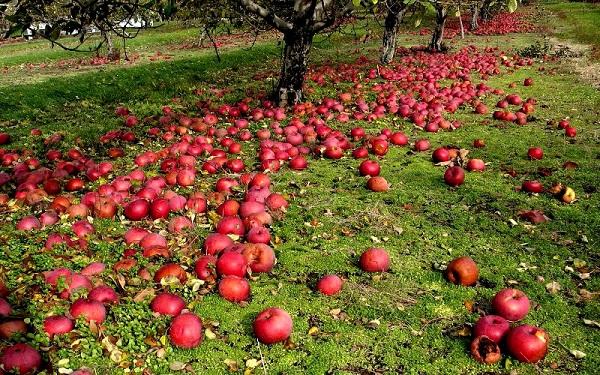 Elma sonbahar nedenleri