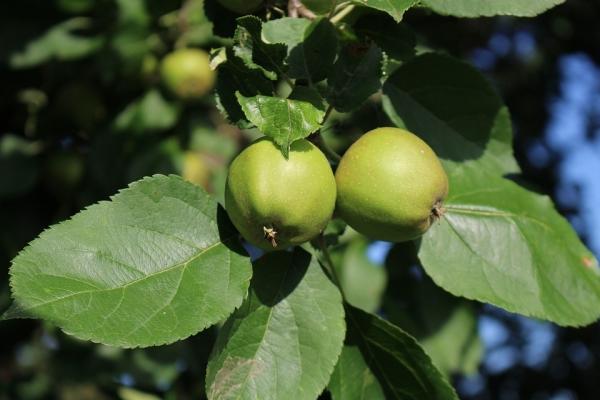 Ne yapılabilir ve olgunlaşmamış elma nasıl uygulanır?