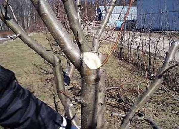 Budama elma