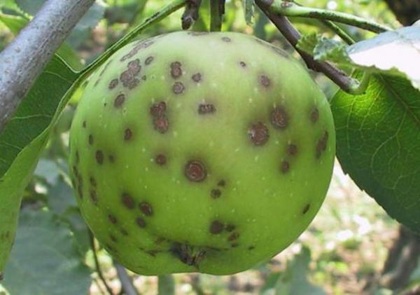 Yaralı elma