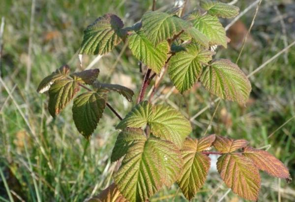 Sonbaharda ahududu dikimi: dikim ve bakım özellikleri