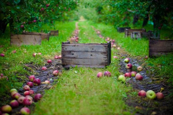 Kışın depolanması için elma nasıl ve ne zaman toplanır: ipuçları
