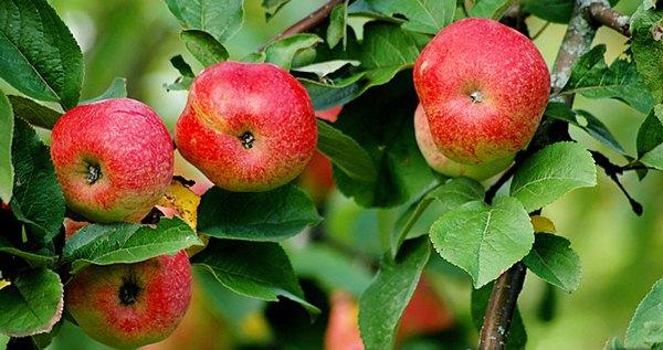 Elma ağacı Bellefle Çin