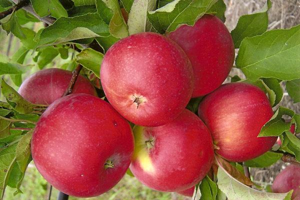 Elma Ağacı Welsey Meyveleri