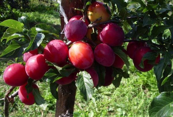 Ural Kırmızı çeşitli erik: ağaç açıklaması, dikim ve bakım, haşere ve hastalık kontrolü