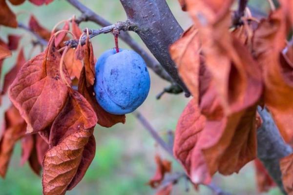 Sonbaharda erik için uygun bakım: gerekli önlemler