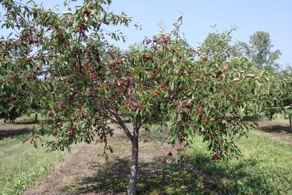 Sonbaharda kiraz dikmek, ağaçlara bakmak, yararlı öneriler