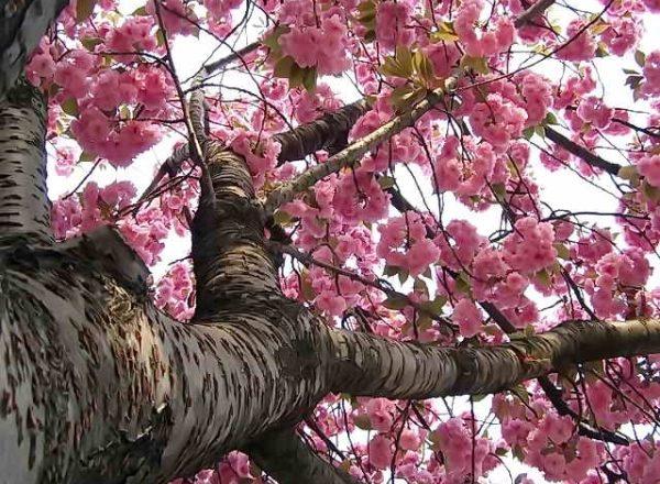 Japon kiraz Sakura: ağacın tanımlayıcı özellikleri, dikim, bakım, çeşitleri