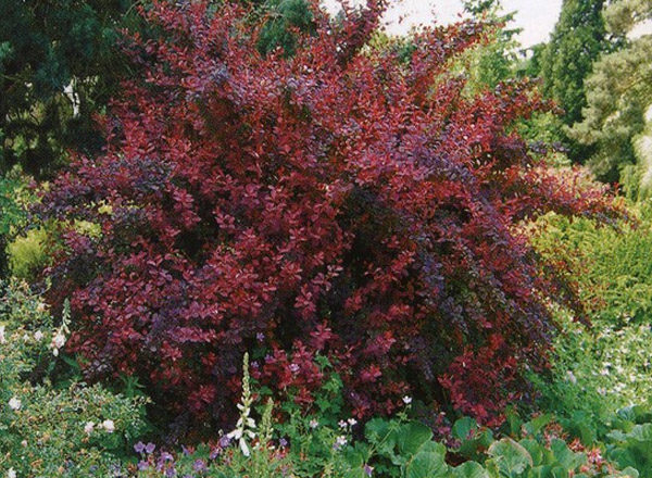 Barberry Ottawa