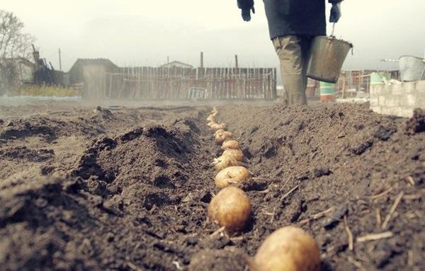 Leningrad bölgesinde patates ekimi