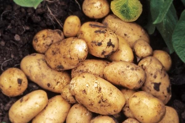 Patates çeşitliliği Adretta'nın tanımı ve özellikleri, dikim ve bakım ile ilgili ipuçları