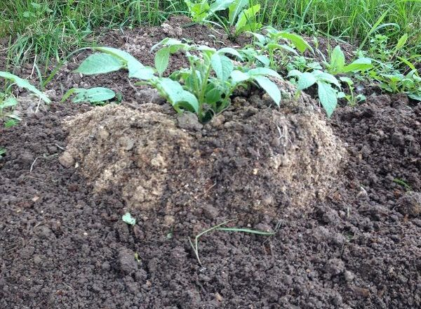 Çin teknolojisini kullanarak patates yetiştiriciliği