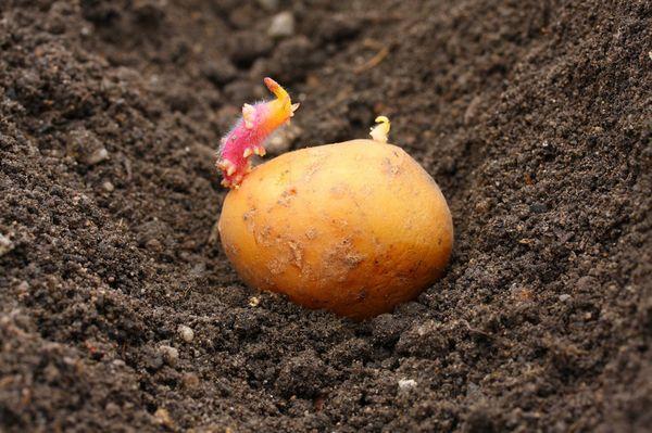 Moskova bölgesinde patates ekimi