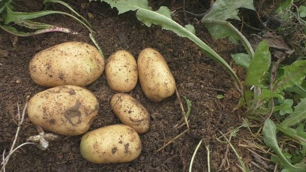 Patates için Siderates