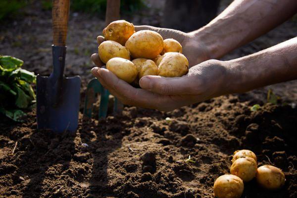 Patates dikimi şartları