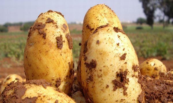 Patates çeşitleri Uladar'ın tanımı