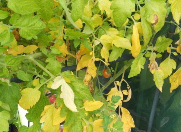 Neden domates yaprakları sarıya dönüyor?