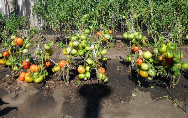 I. M. Maslov yöntemine göre domates yetiştirmek