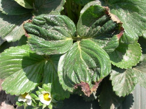 Yaprak kıvrımı potasyum eksikliğini işaret edebilir.