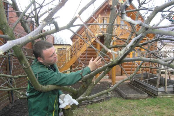 Fosforlu gübreler ağaçları güçlendirir