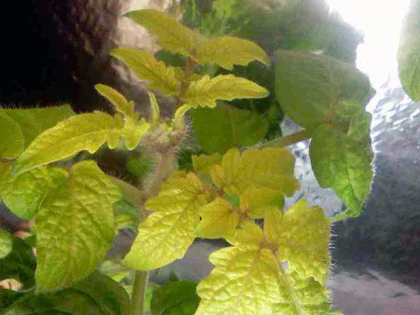 Azot eksikliği nedeniyle, bitki yaprakları zayıflamaya ve sararmaya başlar.