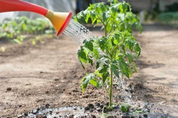 domates fideleri nasıl beslenir