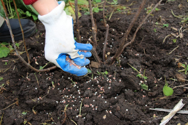 Meyve ağaçları ve çalılar meyve verildikten sonra gübreye ihtiyaç duyarlar.